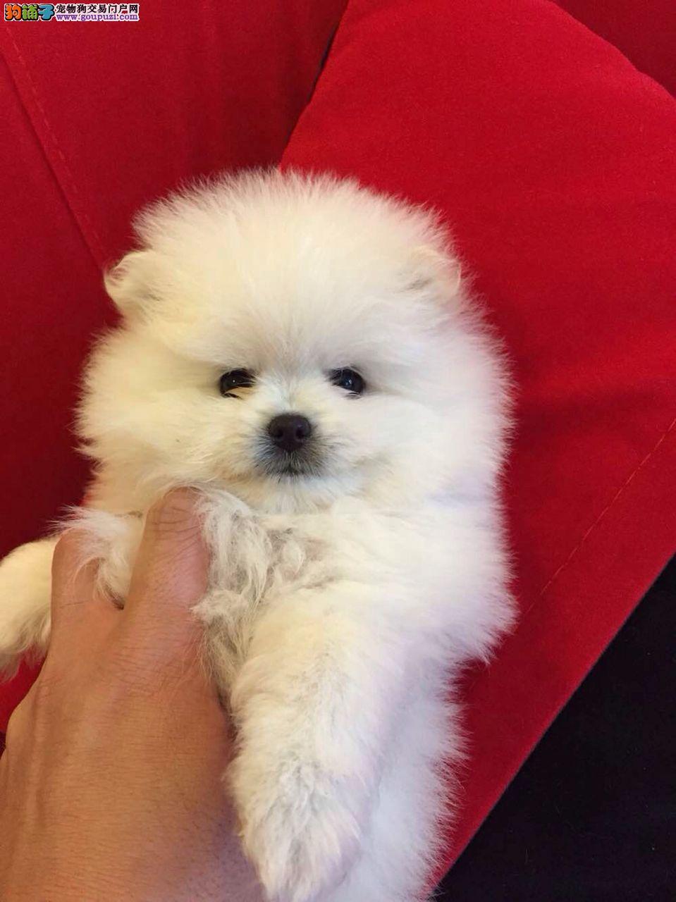 松江区健康博美犬出售价格 精品博美犬幼犬