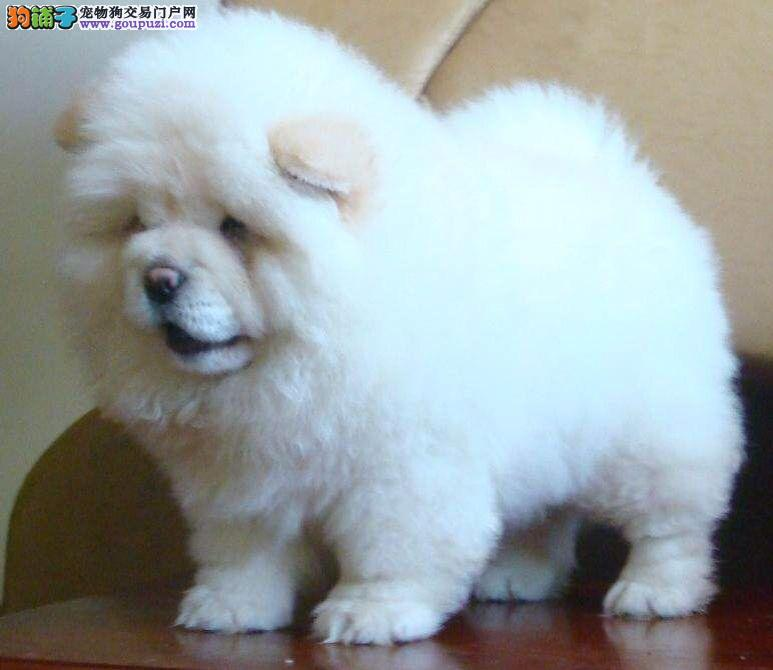 CKU认证忠实聪明松狮犬两三个月的小狗*宝山