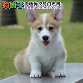 小短腿 柯基犬 纯种柯基犬 精品柯基犬幼犬