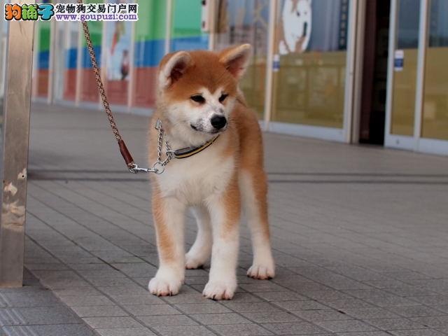 纯种日本秋田犬幼犬 日本系