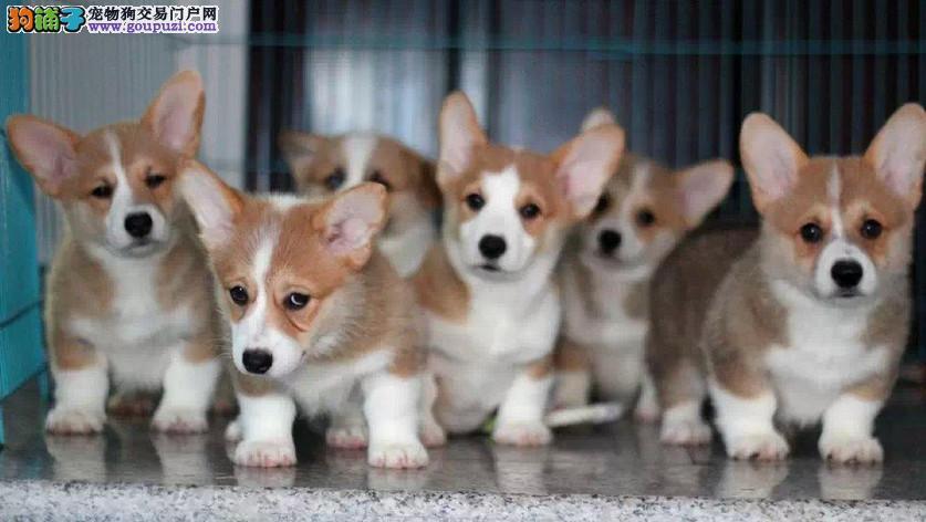 成都犬舍直销,纯种柯基犬,双色三色柯基犬、签协议