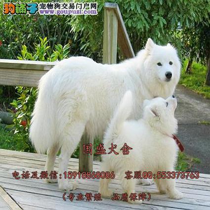 纯正澳版萨摩耶雪橇犬 微笑脸双眼皮赛级精品萨摩待售