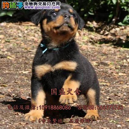 德国服役警犬后代罗威纳 多窝精品粗骨架罗威宝宝待售