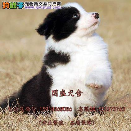 进口边境牧羊犬 CKU赛级标准七白到位边牧宝宝热销中