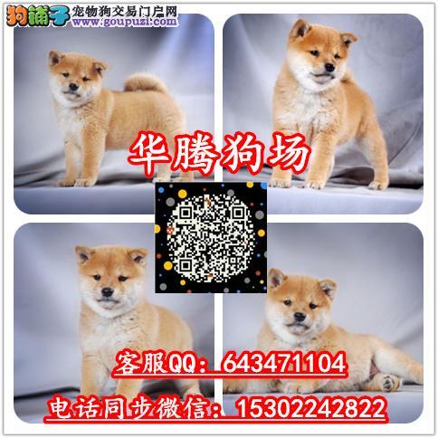 广州哪里有卖柴犬价格多少纯种柴犬价钱多少柴犬多少钱