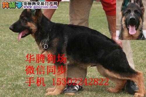广州哪里有卖德国牧羊犬价格多少纯种德牧幼犬价钱
