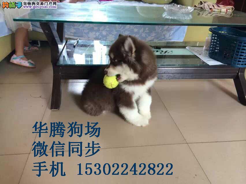 广州哪里有卖阿拉斯加雪橇犬纯种阿拉斯加狗场繁殖出售