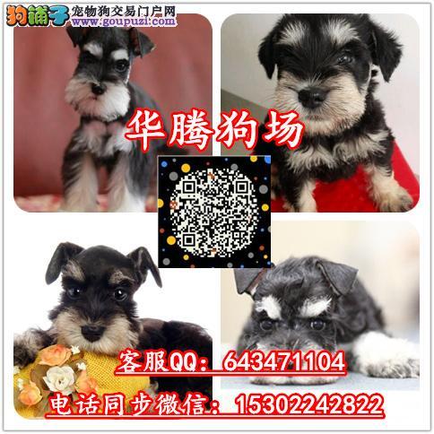 广州哪里有卖雪纳瑞幼犬价格多少纯种雪纳瑞价钱多少钱