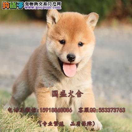 日本进口柴犬专卖 多窝2 4月龄柴犬待售 健康质保半年