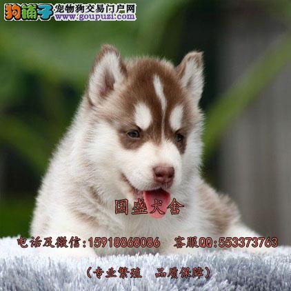 西伯利亚狼哈士奇雪橇犬 原产地精品三火蓝眼小哈待售