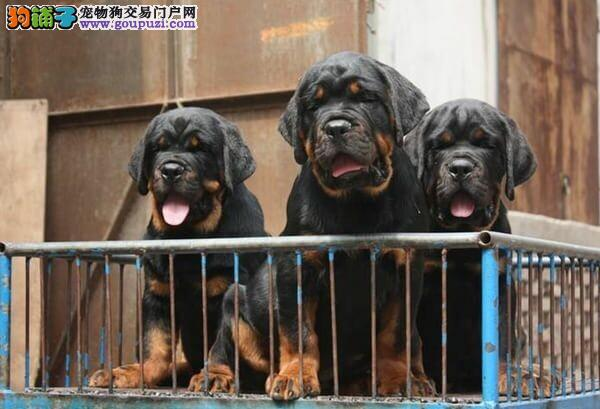 常年直销精品罗威纳犬舍繁殖丶青浦区罗威纳