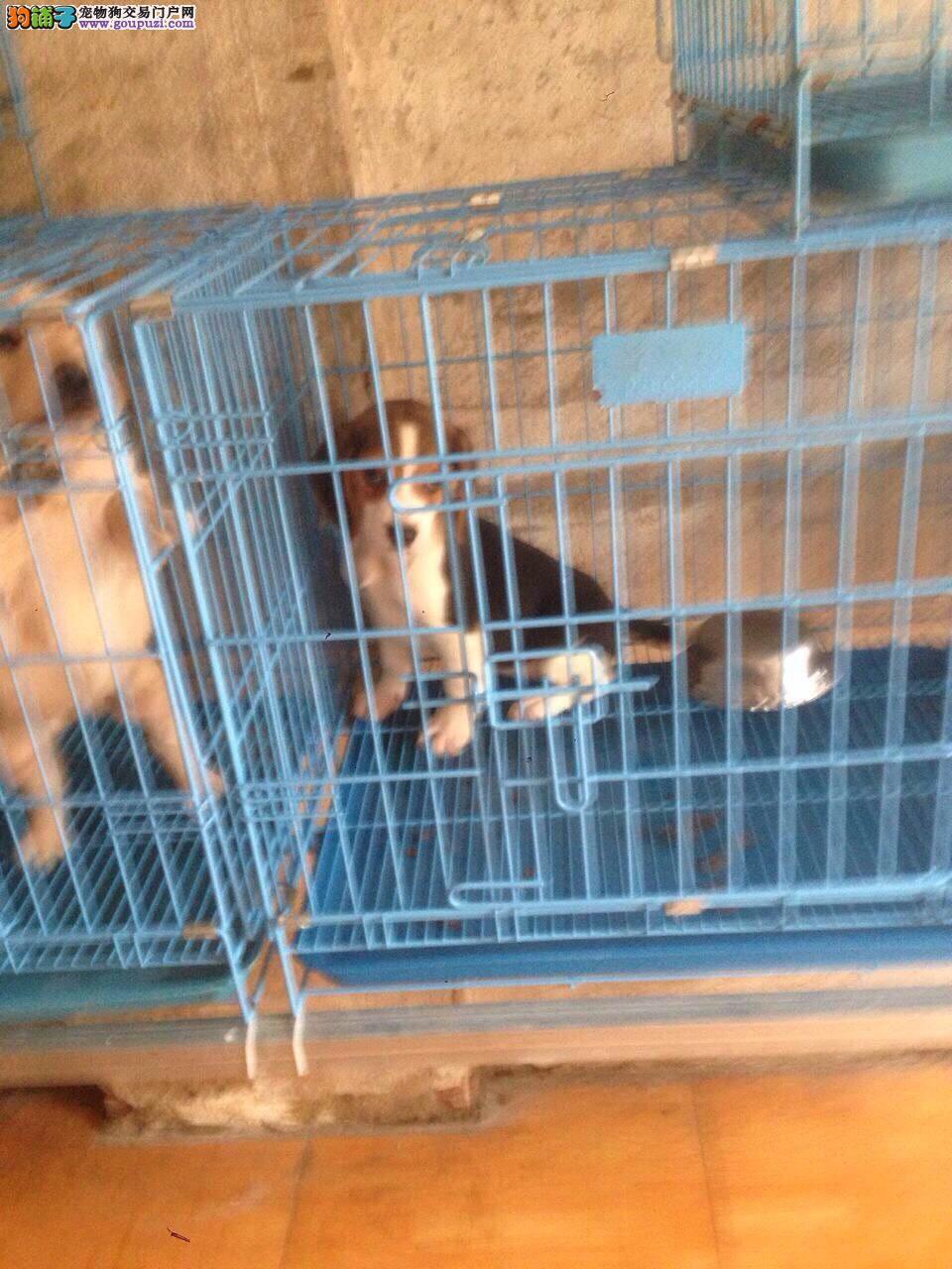 出售比格犬两三个月的小狗/普陀区赛级比格