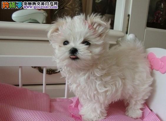 普陀区极品马尔济斯犬两三个月的小狗<口碑