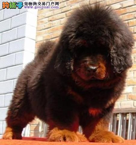 品质保证藏獒小犬丶高品质藏獒价格多少