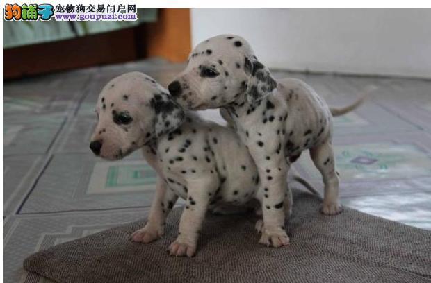 普陀区品质保证斑点狗哪里买 赛级斑点狗哪