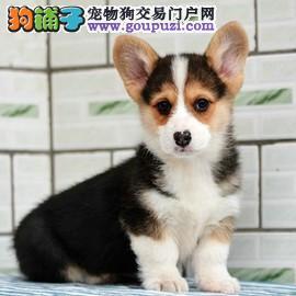 犬舍常年繁殖纯种健康的精品柯基犬
