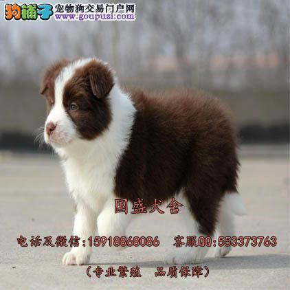 深圳哪里有卖边境牧羊犬 七白到位品相上佳小边牧待售