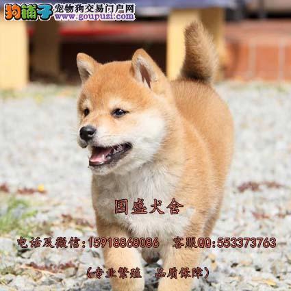 深圳哪里有卖柴犬奇迹物语中的狗 正宗日本引进柴犬