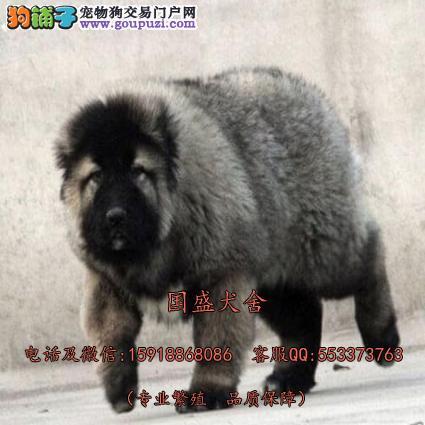 俄罗斯高加索 极品原生态熊版高加索 顶级守卫犬看守狗