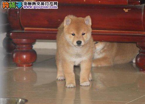 聪明好训,纯种小柴犬,专业繁育犬舍出售幼犬