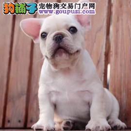 """台湾引进国际""""""""种犬 大头版宽嘴法牛宝宝"""