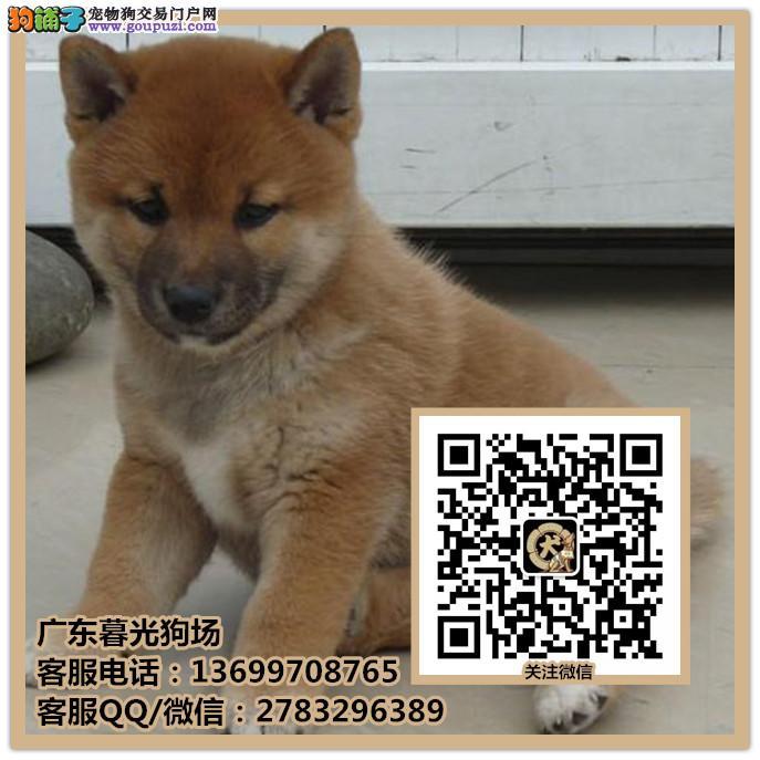 佛山日本柴犬出售 佛山哪里有柴犬出售 柴犬多少钱