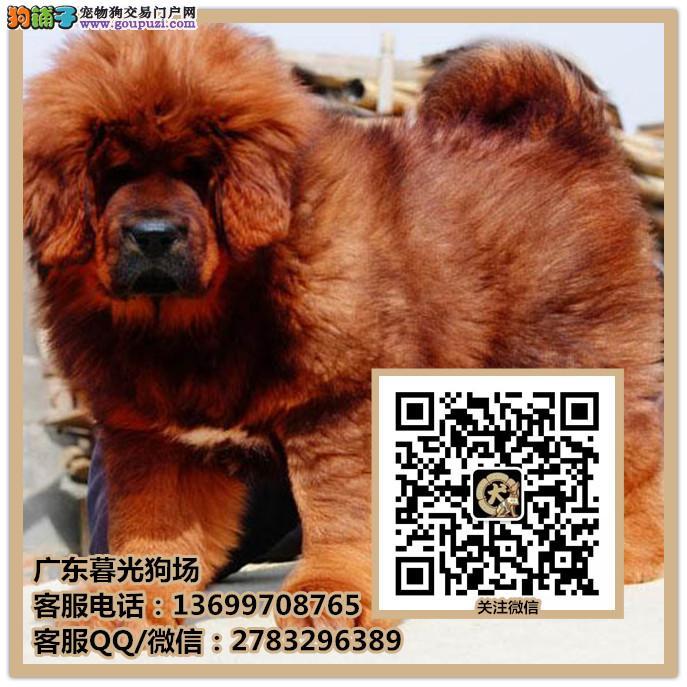佛山藏獒犬多少钱出售 哪里有藏獒犬出售