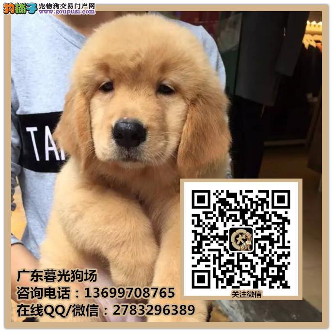 佛山金毛犬多少钱一只 高品质的金毛犬怎么挑选