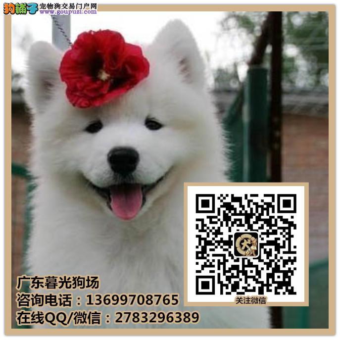 佛山的萨摩耶犬多少钱一只 佛山哪里买到萨摩耶