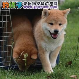 柴犬 纯种柴犬 赛级柴犬 精品柴犬