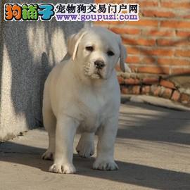 精品大骨量纯种拉布拉多幼犬