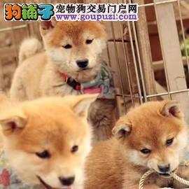 出售日系柴犬幼犬 保纯种 保健康