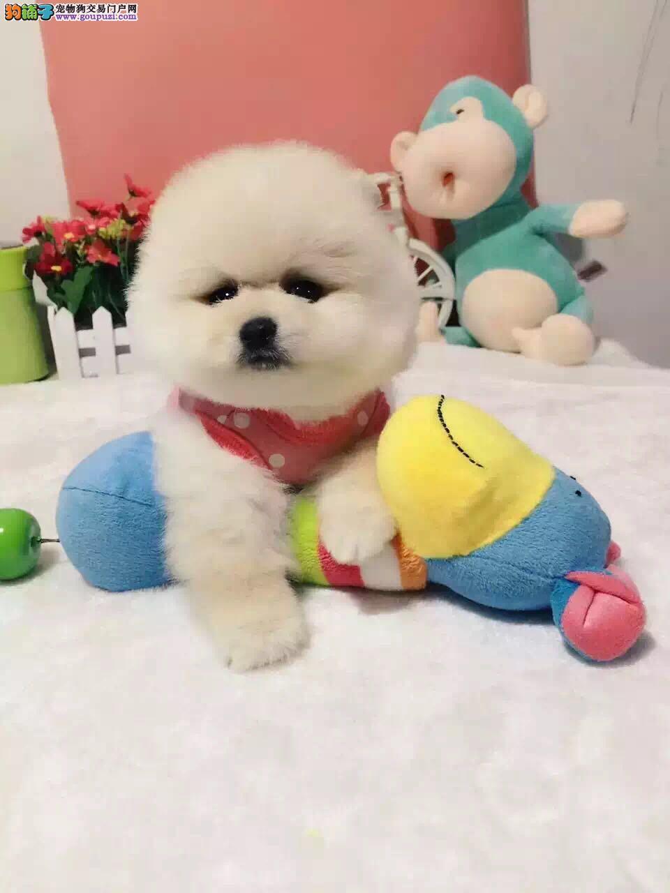 球体哈多利博美犬,可爱俊介犬出售