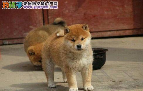 赛级高品质,纯种柴犬出售