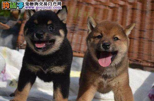 聪明柴犬,颜色全,赛级血统