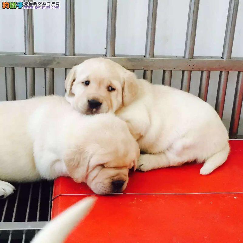 出售拉布拉多幼犬活体神犬小七纯种拉布拉多家养导盲