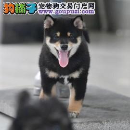 顶级繁殖基地出售日本柴犬幼犬 黑色赤色白色