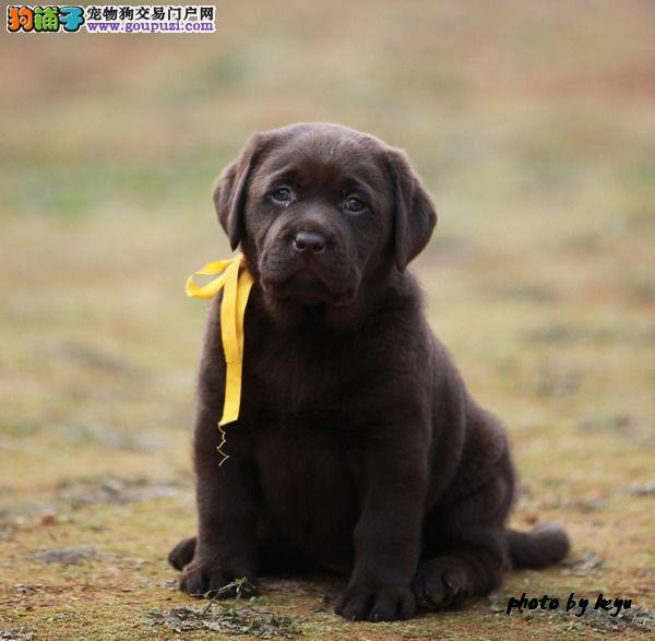 高品质神犬小七、纯种拉布拉多幼犬
