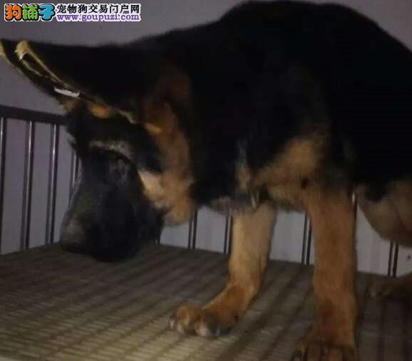 北京通保名犬出售宠物狼狗黑贝2500元起步 可送货上门