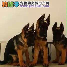 康青名犬出售宠物狗狼狗多少钱黑贝多少钱