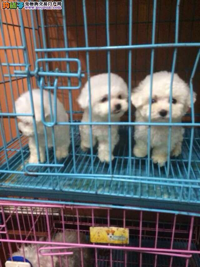 纯度第一比熊犬出售价格 闵行区CKU认证常年