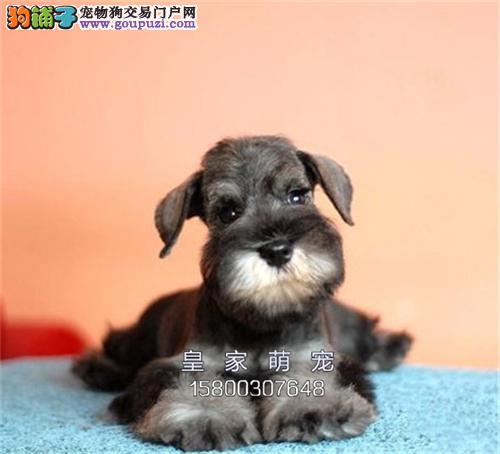 河南犬舍雪纳瑞纯种帅气公母均有全国发货