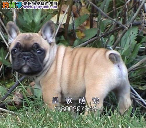 广东犬舍法牛顶级健康活泼送用品全国发货
