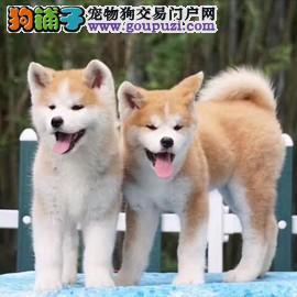 秋田犬 出售 到家里看眼缘