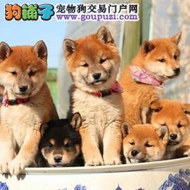 柴犬 精品柴犬幼犬出售 日系柴犬