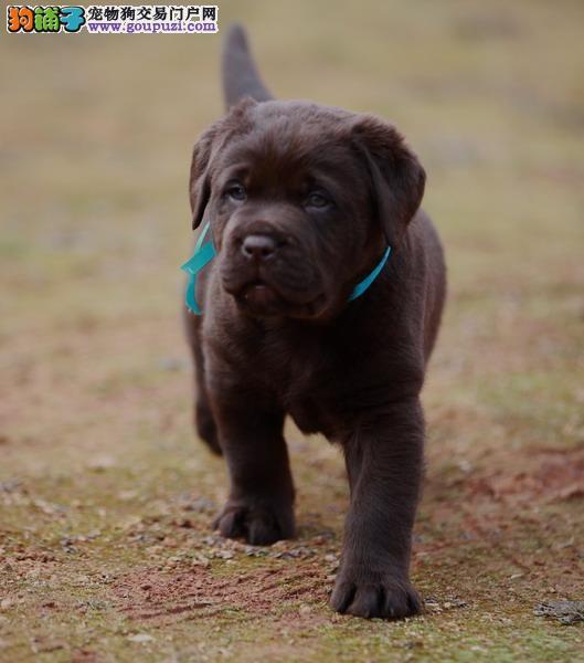 常年售各种犬,狗厂直销,包纯种,