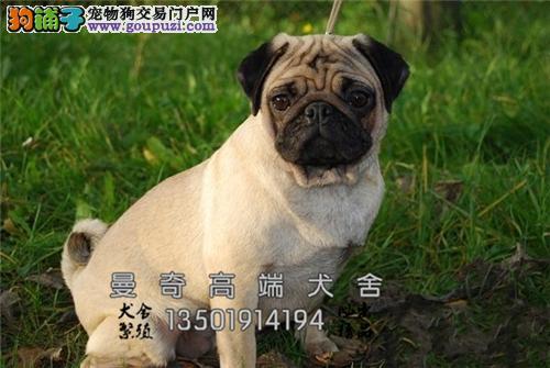 河南出售巴哥高品质狗狗公母均有全国发货