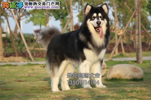 广东犬舍阿拉斯加小雪橇犬送用品全国发货