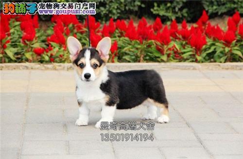 广东出售柯基出售肥臀狗狗全国发货