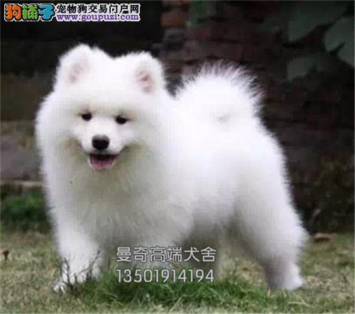 云南最大犬舍萨摩耶精品公母均有全国发货